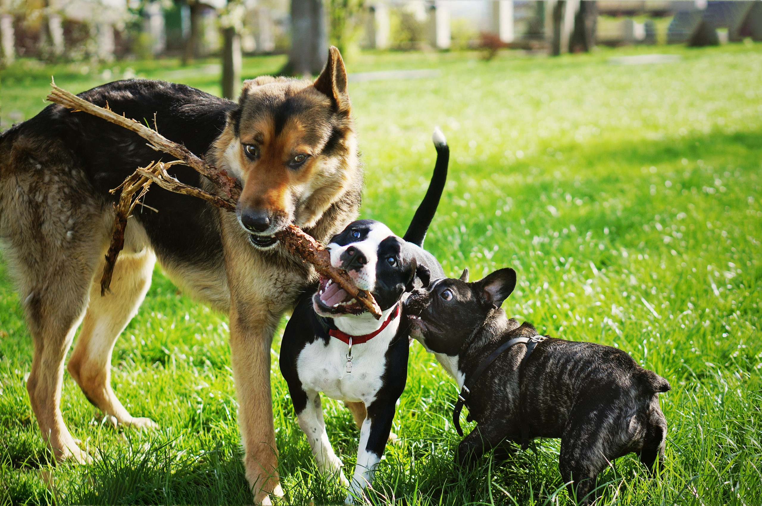 Three dogs are sharing a bone or fighting over it, much like the dynamics among project stakeholders.